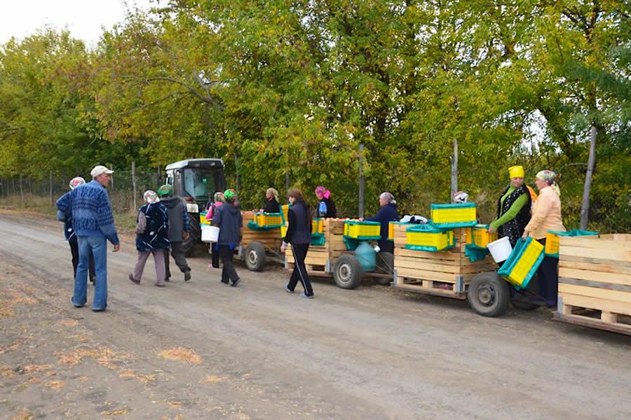 Apple harvesting Moldova