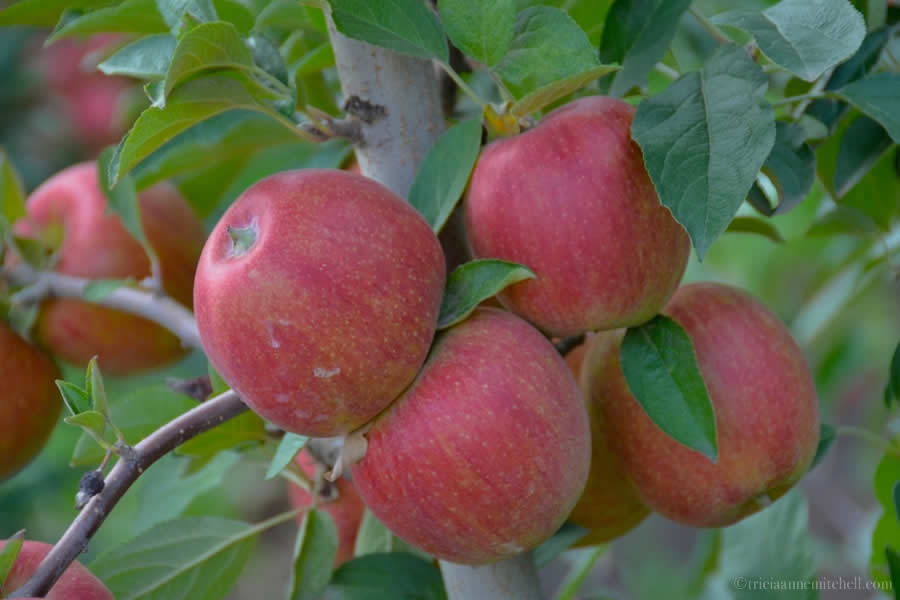 Moldova Apples