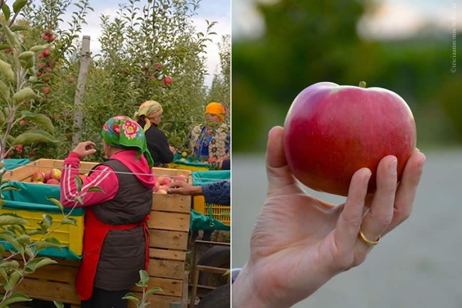 Moldovan Apple Harvest