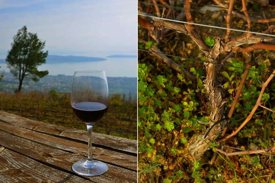 Croatian Red Wine and Grapevine near Split 3