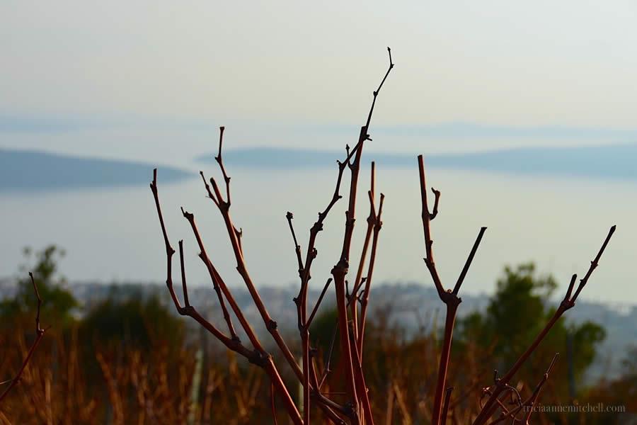 Grapevines in Winter in croatia