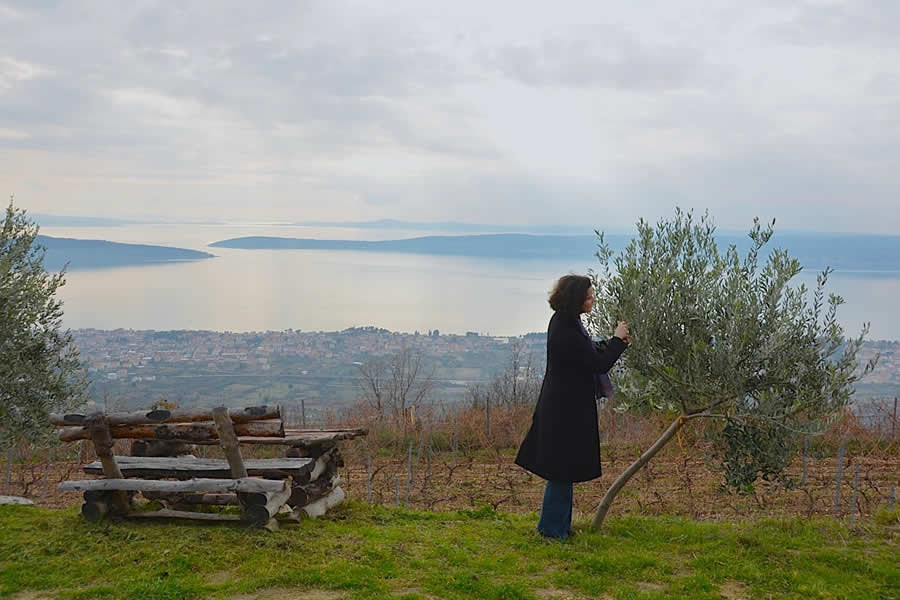 Picking Olives near Split Croatia