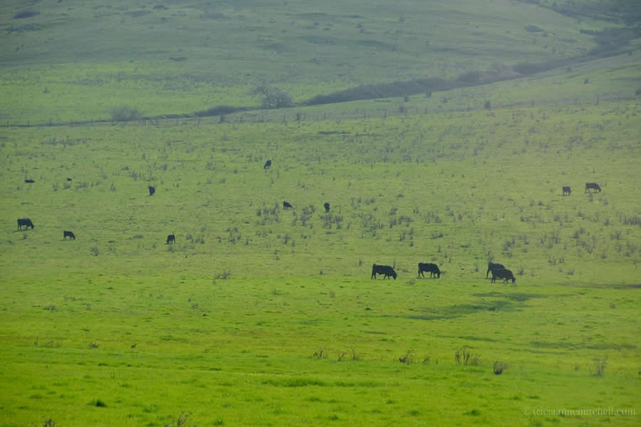 California countryside cows