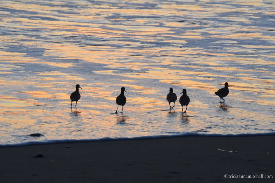 Sandpiper silhouettes sunset Bodega Bay California