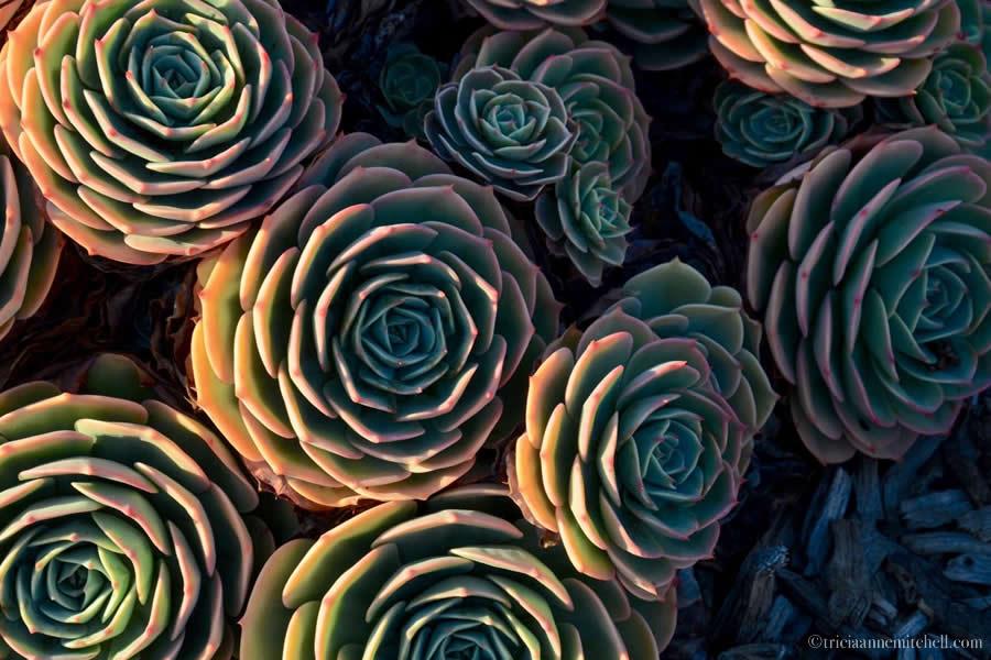 Succulent Roses California