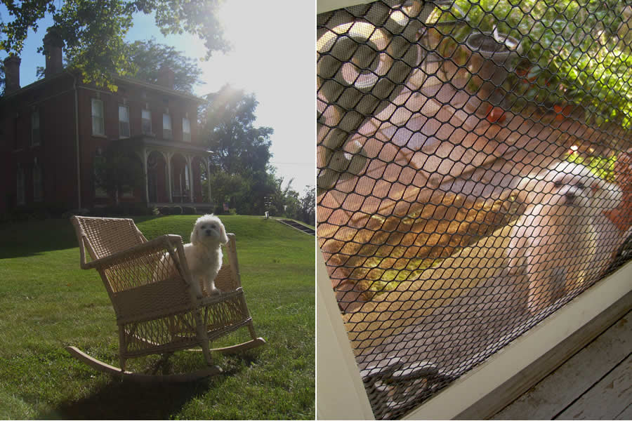A Maltese dog sits on an antique wicker rocker in front of a historic red-brick home (left). On the right, the Maltese dog looks through an ornamental screened door.