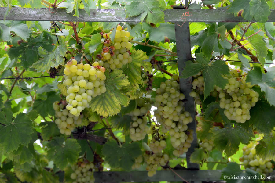 Bulgarian Grapes