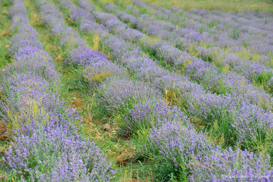 Bulgarian lavender near Kalofer
