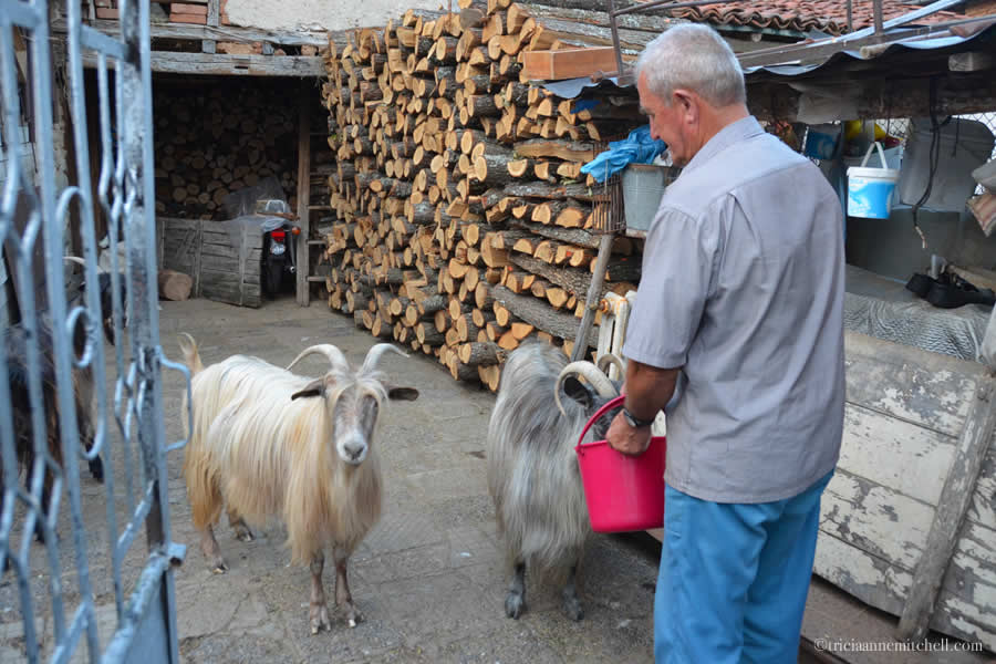 Feeding goats Bulgaria