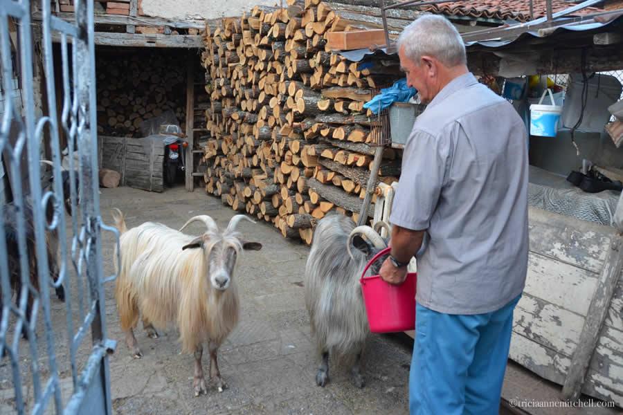 Feeding goats Bulgaria