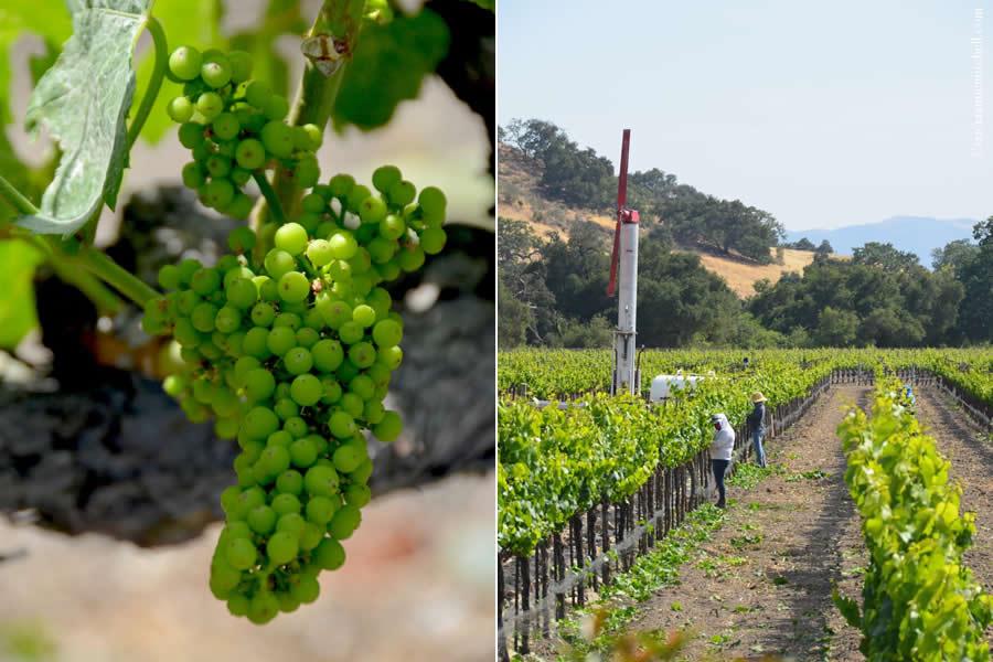 Fess Parker Winery Grapes Vineyard