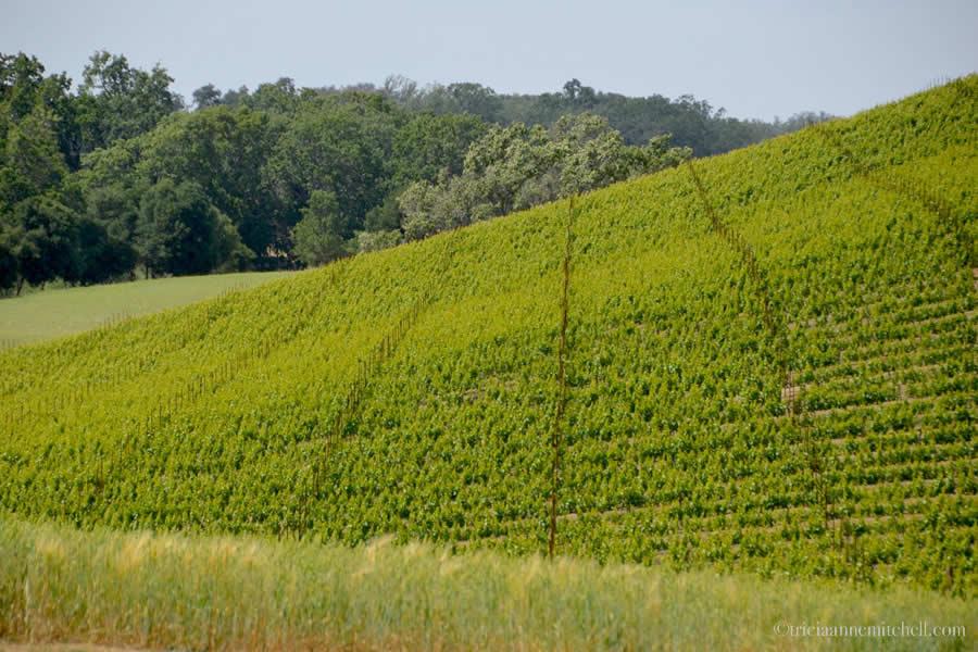 Jack Creek Vineyard Paso Robles