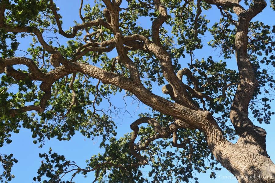 Los Olivos Old Oak Tree