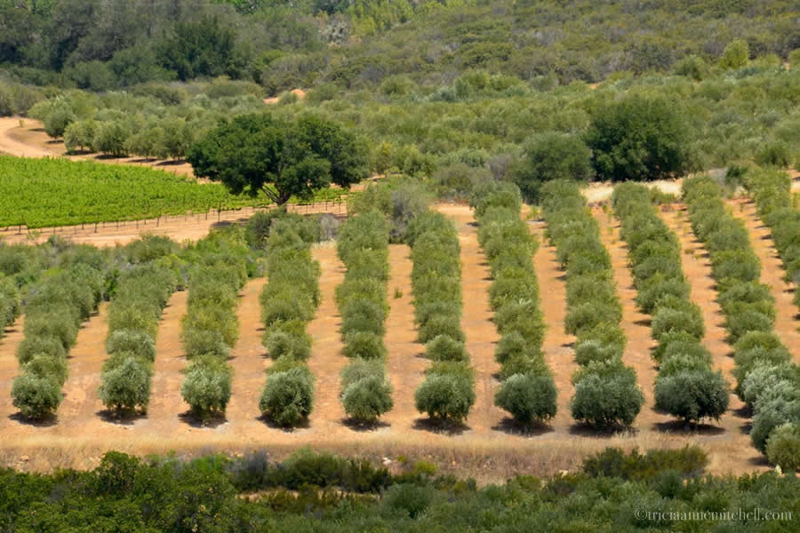 Olive Grove Santa Ynez Valley