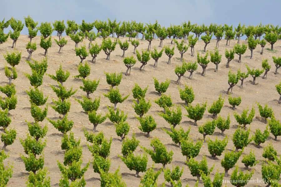 Turley Vineyards - Bush Vines, Head Training, Gobelet