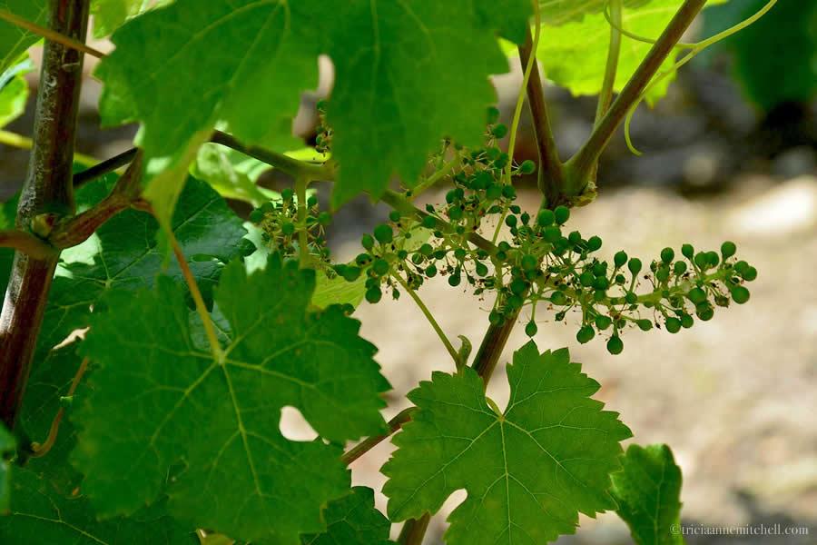 Baby Grapes Vineyard Saint Emilion