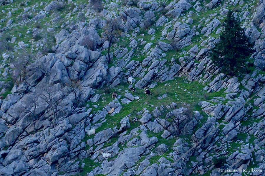 Goats on Kotor Mountain Montenegro