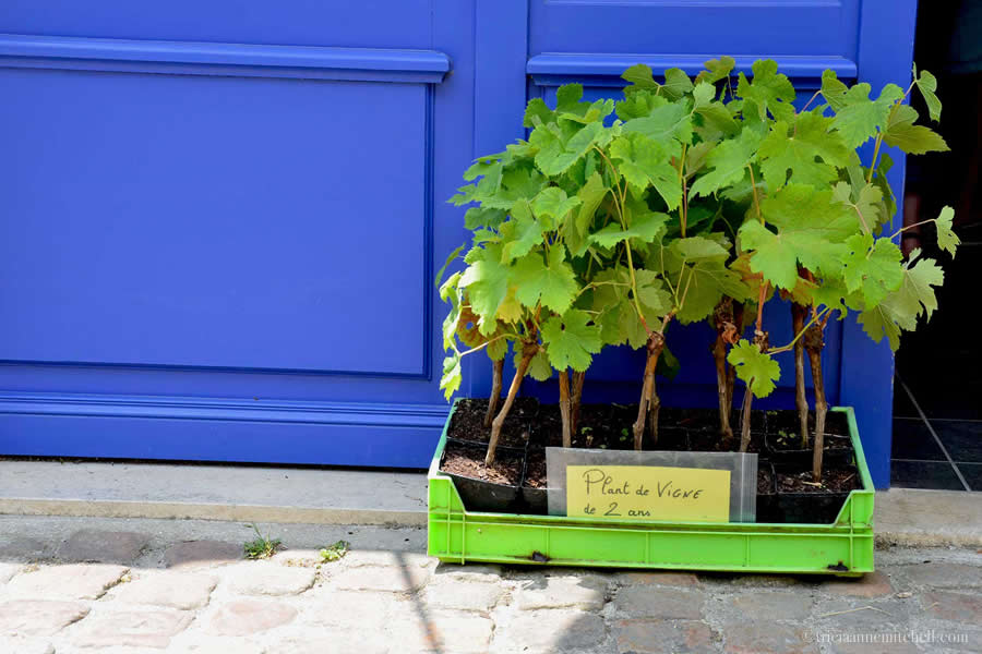 Grapevine plants for sale Bordeaux