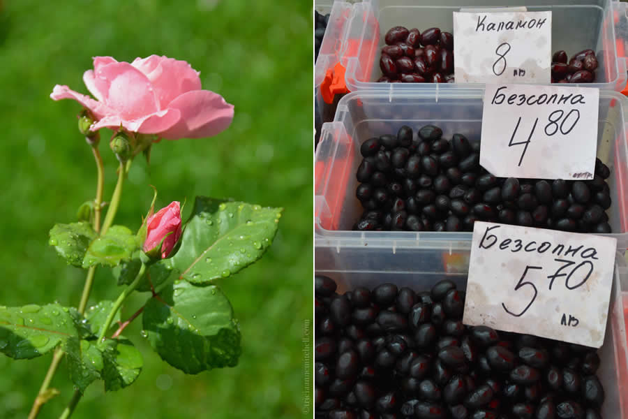 Rose and Olives in Bulgaria
