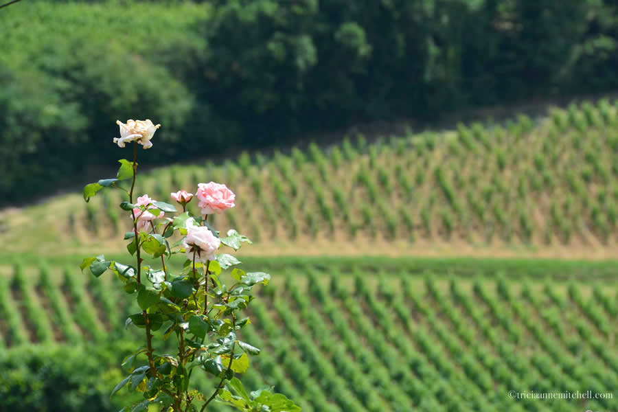 Rose Vineyards Saint Emilion Bordeaux France