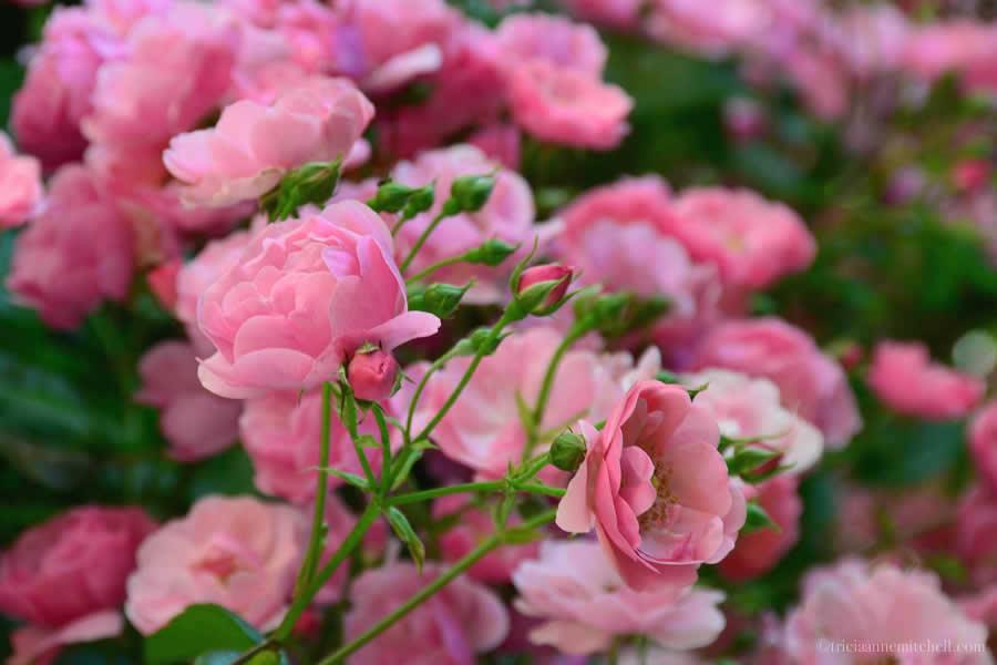 Subotica Roses Serbia