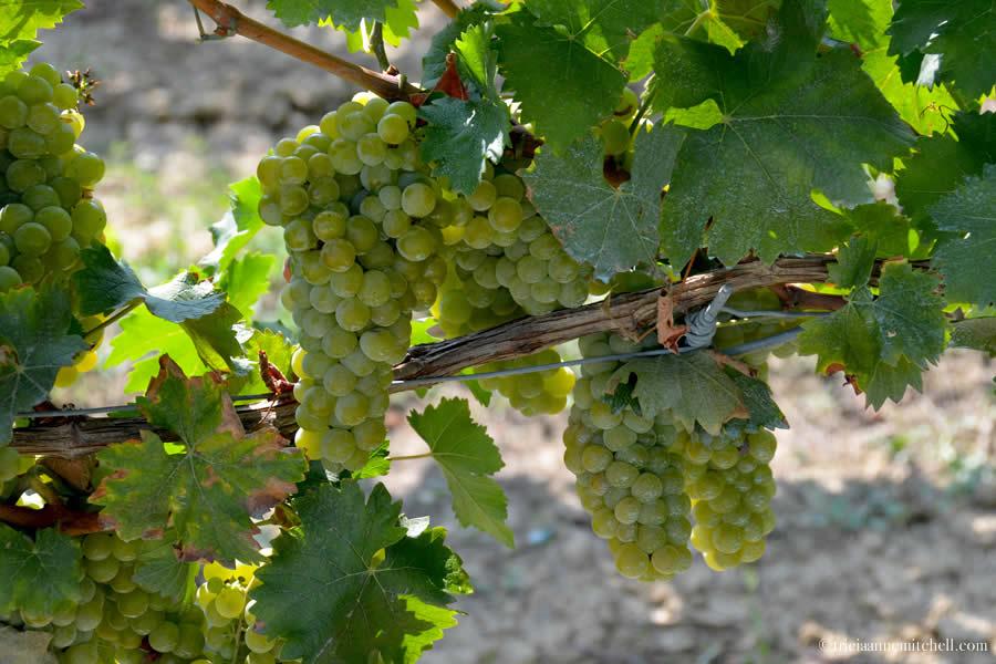 Piemonte Grapes before harvest