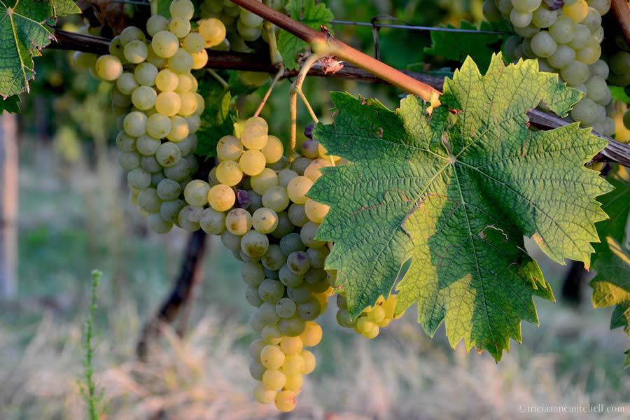 Grapes Nizza Monferrato