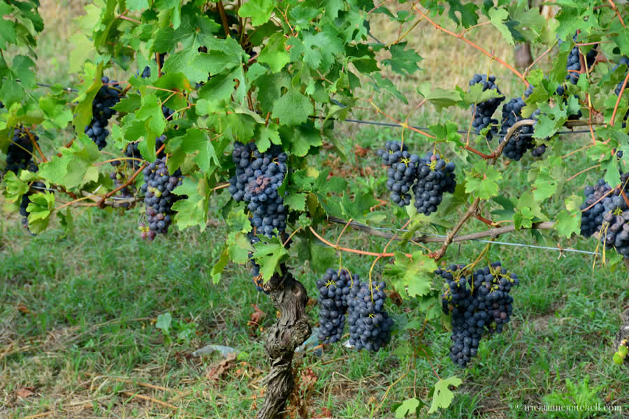 Nebbiolo grapes Langhe Italy