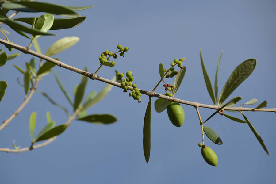 Ticino Olives