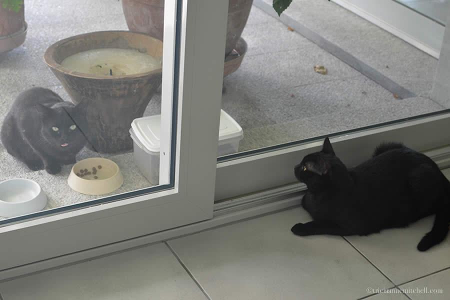House Cat Stray Cat