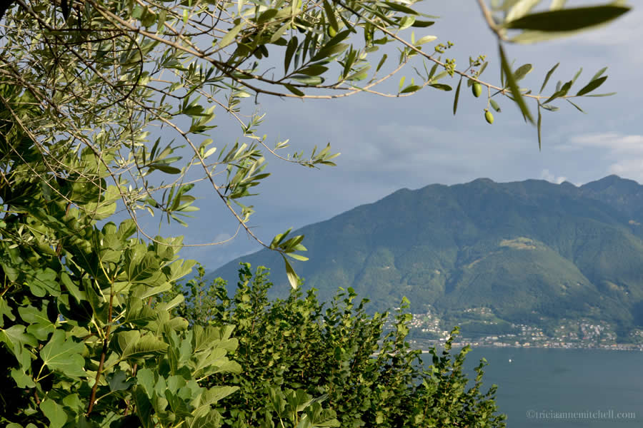 Ticino Olive Fig Trees