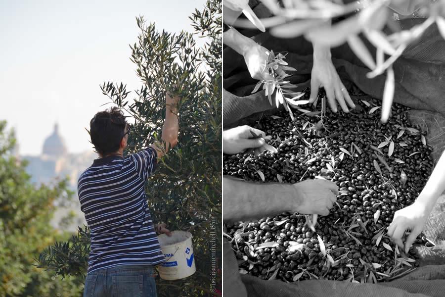 Harvesting Olives Valletta Malta