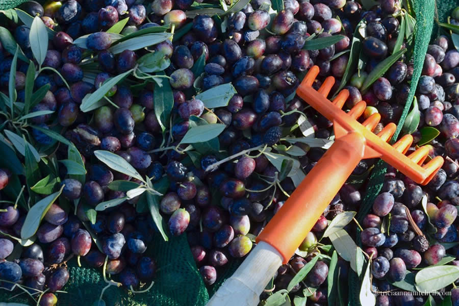 A long-handed rake rests in a pile of purple olives