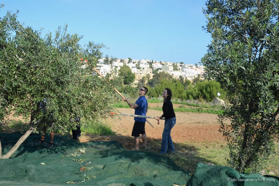 Olive Picking Malta Tricia and Shawn