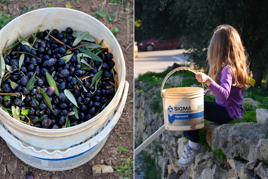Olive Picking Malta