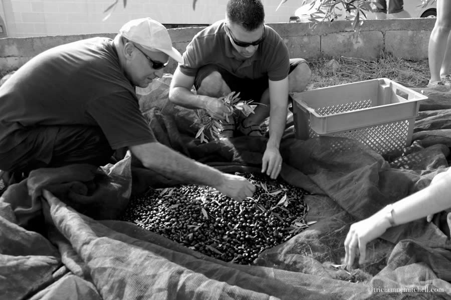 Harvesting for a Cause: Picking Olives in Mediterranean