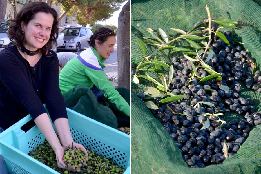 Picking Maltese Olives