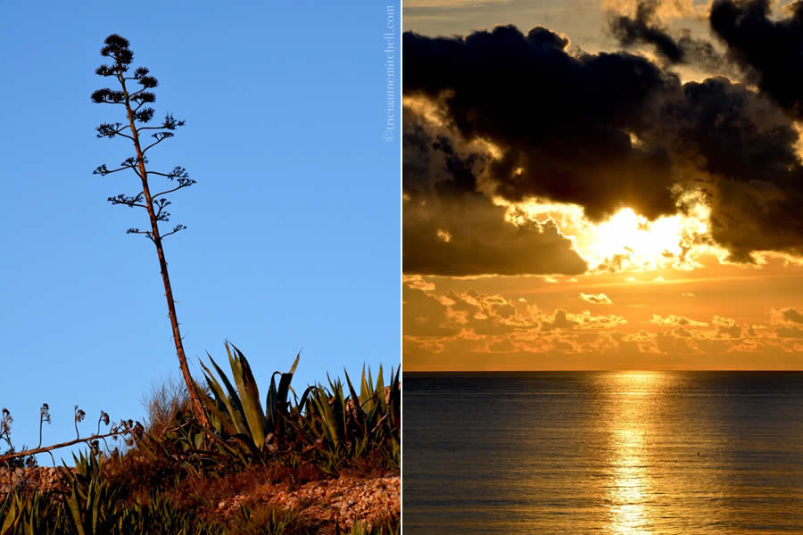 Agave bloom Golden Bay sunset Malta