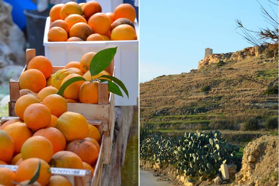 Harvesting oranges Malta ecotour