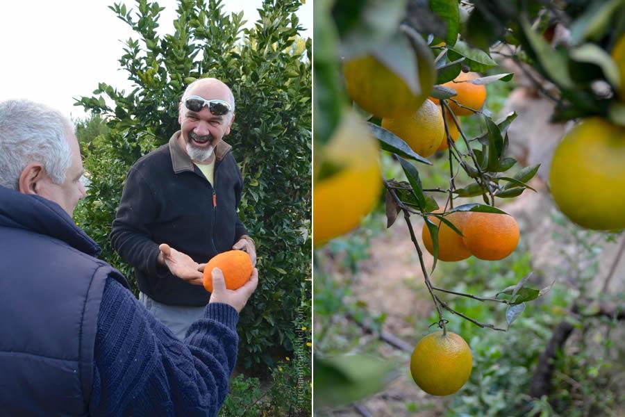 Harvesting oranges Malta
