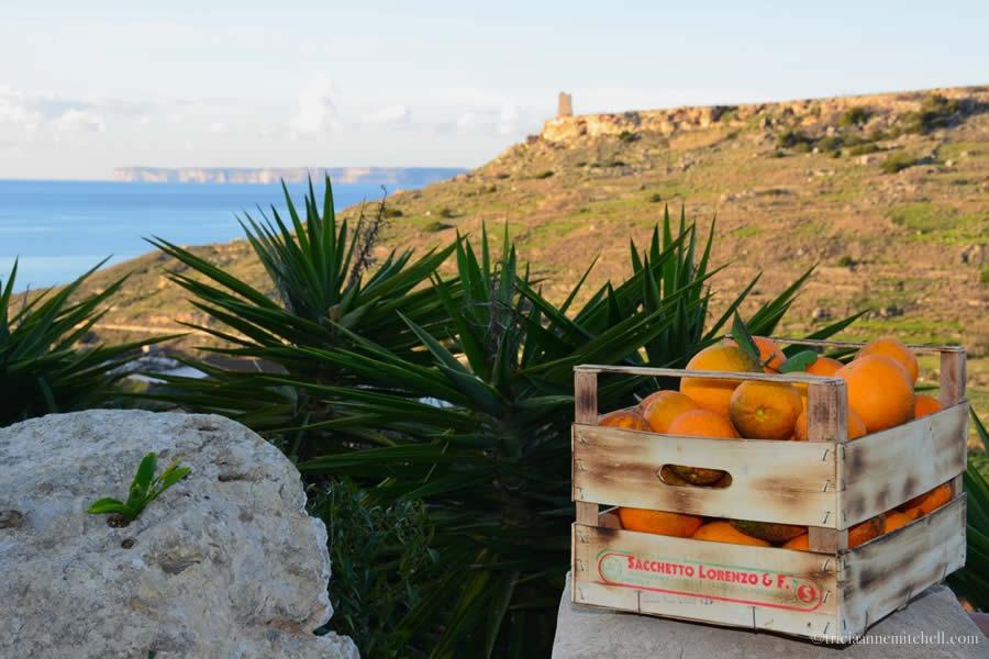 Harvesting Oranges Merill Ecotour Ġnejna Bay