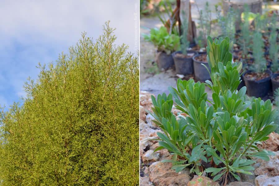 Malta national tree għargħar and national plant Widnet il-Baħar,