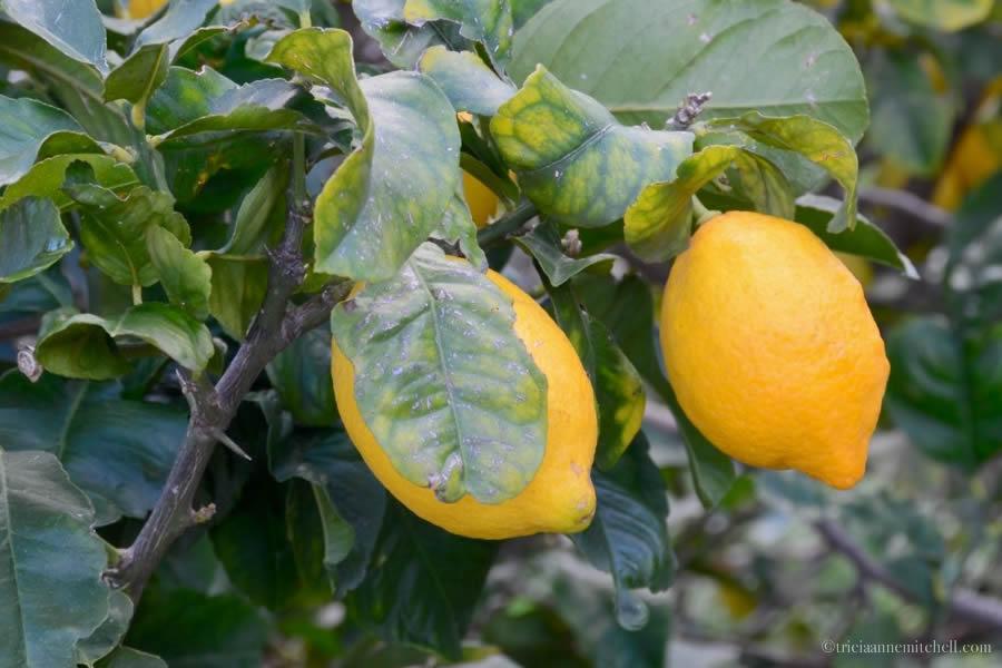Maltese Lemons Harvest