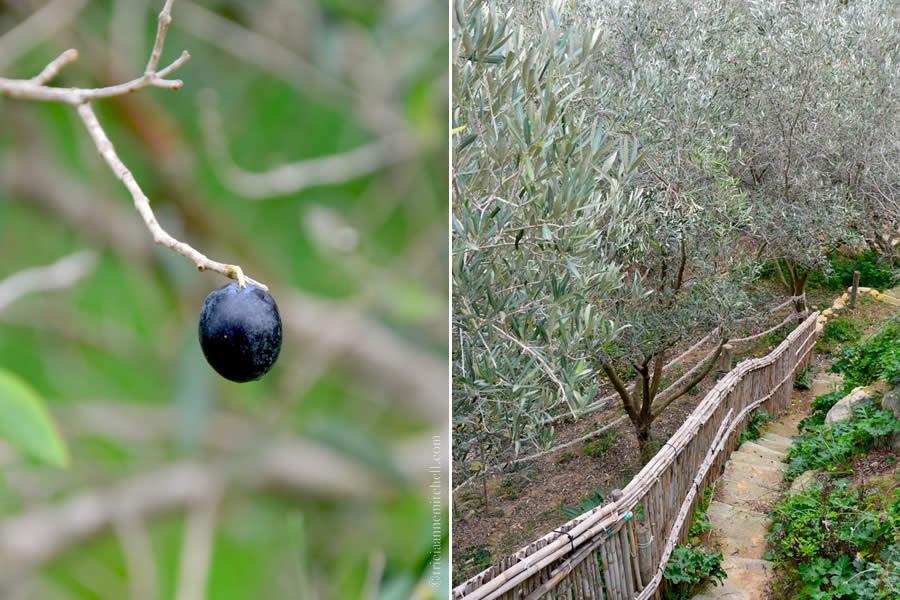 Olive Grove Malta Tan-Nixxiegħa