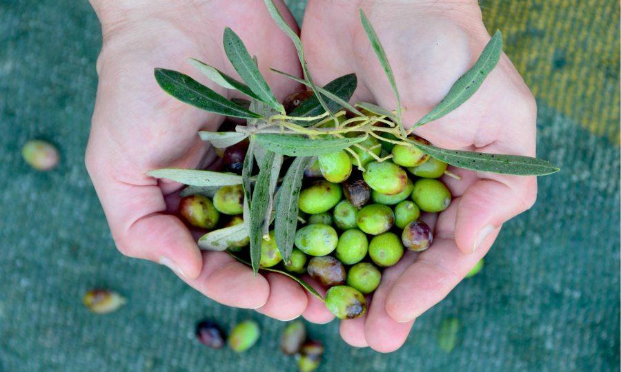 olive-picking-malta-mediterranean-olive-oil