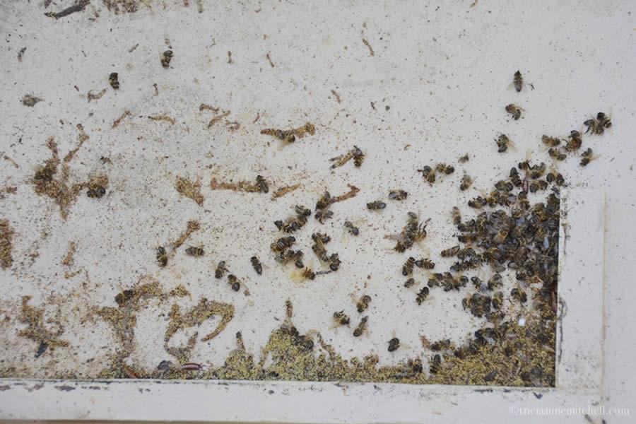 Colony Dead Bees Malta