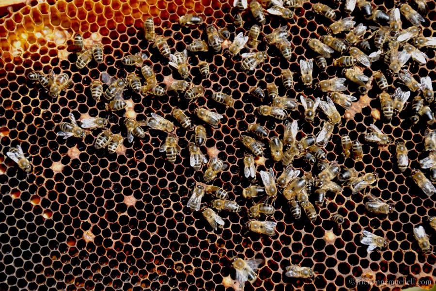 Maltese Bees and Honeycomb