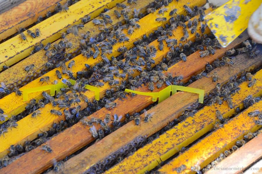Maltese bees