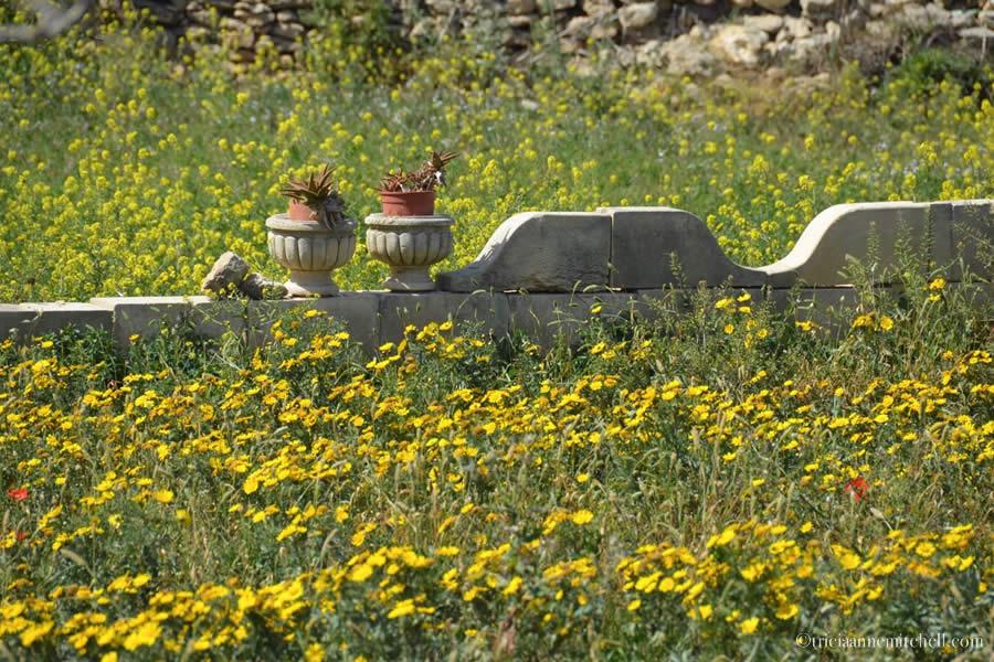 Wildflowers Malta field