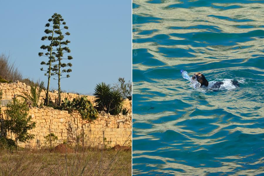 delimara-titti-dog-diving
